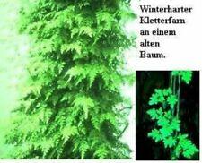 Kletterfarne winterhart Kletterpflanzen Hecken Heckenpflanzen immergrüne Pflanze