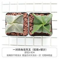 2-Cut 4CM Succulent Cacti Cactaceae Astrophytum Myriostigma Lem Home Garden Rare