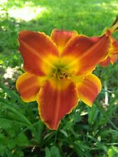 Big beautiful Red with Yellow edges and center day lily Daylily eatable flower