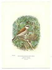 Book plate - Red-Backed Shrike
