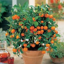 Fruit Mandarin Bonsai Tree Seeds, Citrus seed Bonsai Mandarin Orange Seeds