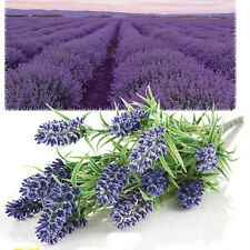 Lavender Provence Seeds Organically Grown French Heirloom Herb NON GMO