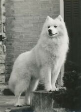 Vintage Photo~Beautiful Samoyed Puppy Dog Standing on Step~New Large Note Cards
