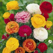 80 Ranunculus Persian Buttercup Perennial Mix Spring Fragrant Plant Flower Bulbs