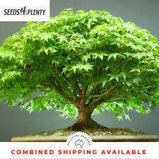 Japanese Maple - Acer palmatum (40 Bonsai Seeds)