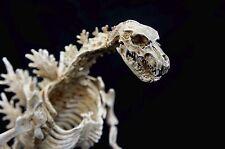 Godzilla Skeleton 30 cm Statue Takeya Takayuki Version M1 Toho Authentic