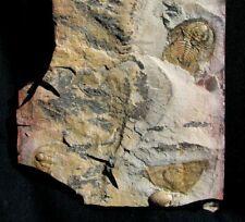 Extinctions- Nice Multiple Olenellus Gilberti Trilobite Fossil W/Sponges & More!
