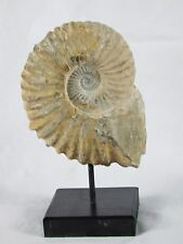 3A) Large Ammonite Jurassic Fossil On Stand Morocco Great Display Gift 6 inch