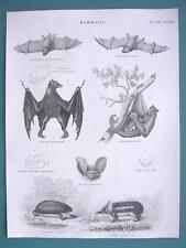 Mammals Bats Flying Fox Lemur Hedgehog Tenrec - 1840 Fine Quality Antique Print