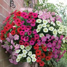 Petunia Nana Compacta Mixed Colour Seed Annua Dwarf Compact Plant Long Flowering