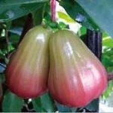 Thai Wax Jambu / Wax Apple Fruit Tree (Thub Thim Chan) #3 - 1 Feet or Taller