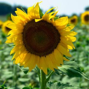 150 X GIANT Sunflower Seeds Tall Yellow Single Flower Helianthus annuus