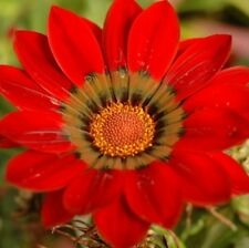 GAZOO RED GAZANIA rigens hardy daisy-like plants - large 4cell seedling punnet
