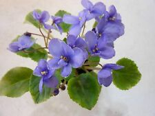 African Violet!Rob's Jitterbug!