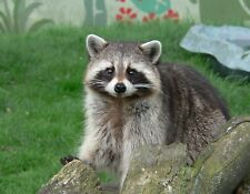 METAL REFRIGERATOR MAGNET Raccoon Looking At Camera Travel England