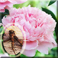 1 Peony Root - Pink Sarah BernHardt Peony Live Plant 2+ eyes 6