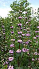 Phlomis tuberosa Jerusalem Sage lilac flowers in summer perennial plant 9cm pot