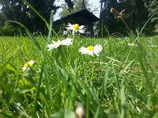 Gänseblümchen 1000 Samen - Bellis Perennis  - Maßliebchen - Tausendschön