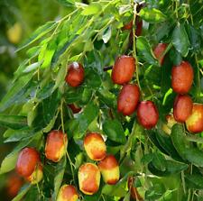 10Pcs Jujube Fruit Seeds Rare Kind Pereninal Tasty Natural Sweet Easy Grow