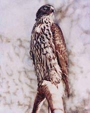 Goshawk LIMITED EDITION PRINT Bird of Prey Steve Greaves Falconry Painting Art
