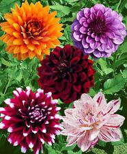 Bolly Bulbs® - Mixed Coloured Decorative Dinner Plate Dahlia Tubers