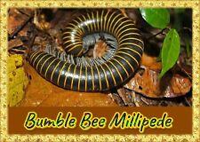 Bumble Bee Millipede  (Anadenobolus monilicornis) Educational & Fun Easy to Keep