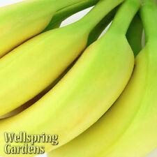 """Musa acuminata """"Gran Nain"""" Banana Plant Fruit Tree Grand Nains Naine Common"""