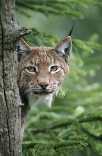 Ansichtskarte: Luchs lugt um die Ecke - sehr schöne Aufnahme! - Lynx