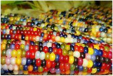 40Pcs Rainbow Colorful Corn Plants Seeds Zea Organic Hybrid Rare Garden Sweet