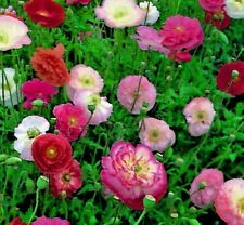 Papaver Shirley Double Mixed - Poppy- Approx 21,000 seeds - Annuals & Biennials