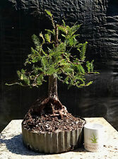 Bonsai tree, Bald Cypress, Advanced Prebonsai, Fully Wired Bonsai Tree!