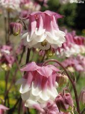 30+ Aquilegia Columbine Pink Petticoat Flower Seeds / Deer - Rabbit Resistant