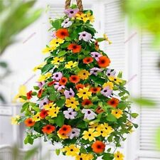 200 pcs Black Eyed Thunbergia Seeds Attract bees butterflies Exotic Flower seeds