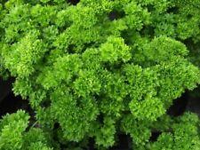 Parsley TRIPLE CURL 100 Seeds  Herbs HEIRLOOM / ORGANIC