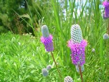 "Purple Prairie Clover ""Dalea Purpureal"" 300 Seeds"
