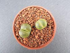 Lithops Cactus & Succulent Plants