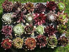 24x Sempervivum Dachwurz große Vielfalt kräftige Rosetten in 24 Sorten! Hauswurz
