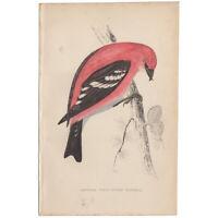 Morris antique 1863 hand-colored engraving, Bird print, Pl 119 Crossbill