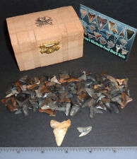 "Shark Tooth Treasure Chest 1.30"" Summerville Megalodon & Tiger Shark! 100+ teeth"