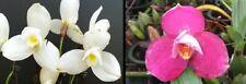 orchid / orchidee Lyc Shoalhaven x Lyc Auburn)x(Lyc Fire Bird x Geyser Gold)(L8)