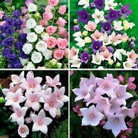 Seeds Canterbury Bells Balloon Flowers Mix Pink Platycodon Perennial Ukraine