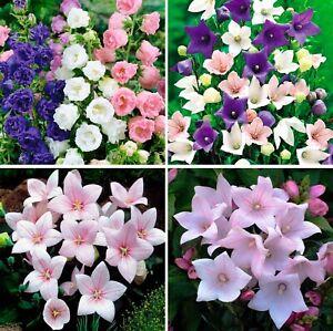 Seeds Canterbury Bells Balloon Flowers Mix Pink Platycodon Perennial Ukraine