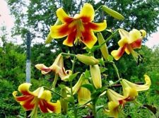 Tree Lily Bulbs 'Robert Swanson' Scented Goliath Lilies x 6 Orienpet Lily