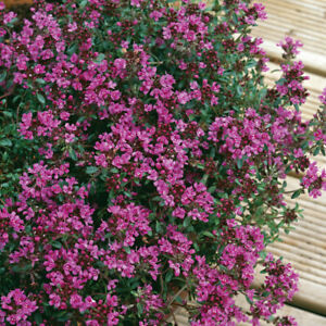 Thyme Plants 'Creeping Red' XL Plug Plant x 2. Common Herb. Ground cover