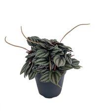 "Napoli Nights Peperomia 4"" Pot - Easy to Grow Houseplant"