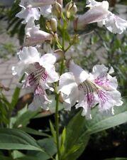Chitalpa tashkentensis 40-60, Baumoleander, Trompetenbaum, rosa- violette Blüte