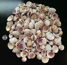 Huge Lot 1/2 LB Small Cockle Shells