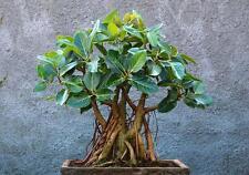 500 Graines Ficus benghalensis , Indian banyan tree seeds