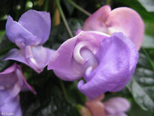 für den Garten: die wunderschöne violette Schneckenbohne rankt überall hin !
