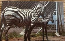 Chapman's Zebra Mother and Baby Real Picture Postcard 1970s San Francisco Zoo